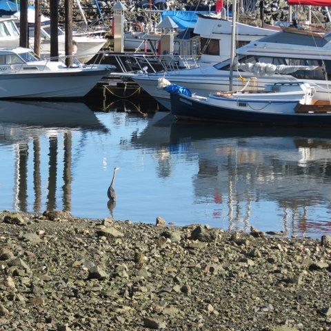 Heron - Nanaimo Marina Seawalk